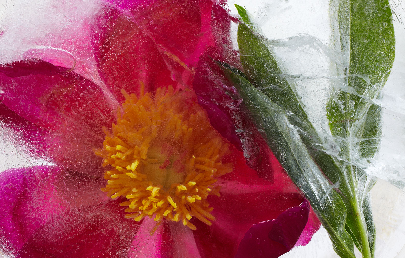 GH_Cover_frozen_peony_1.jpg